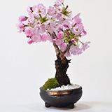 桜 手造り信楽鉢