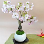 桜のモダン盆栽 受皿付き