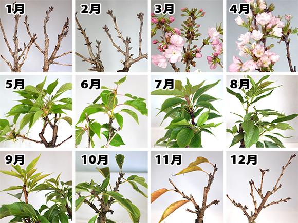 桜 季節画像