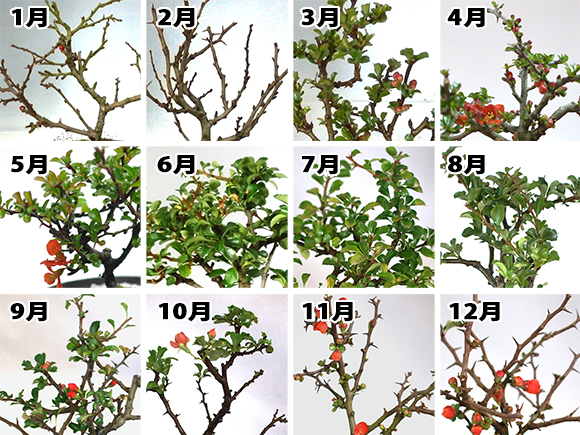 長寿梅 季節画像