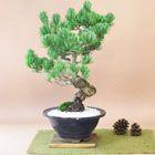 特選五葉松の盆栽
