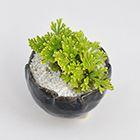 イワヒバ 岩檜葉