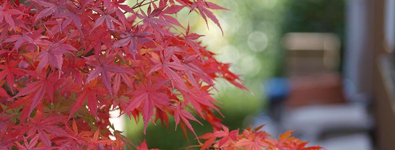 紅葉を楽しむ盆栽